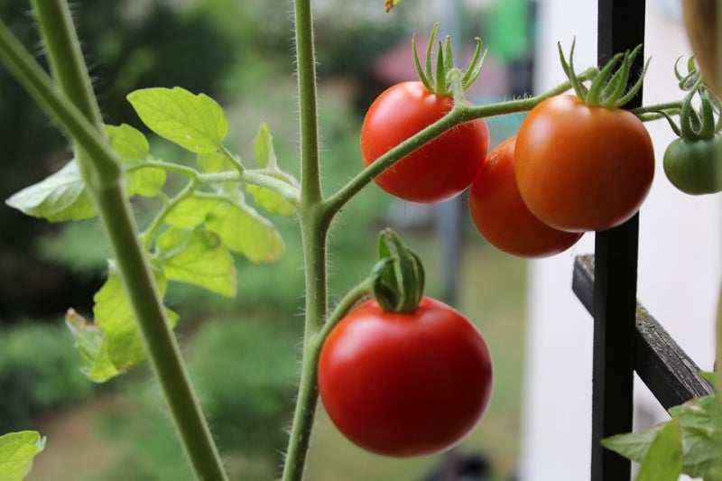Growing Tomatoes on the Terrace.
