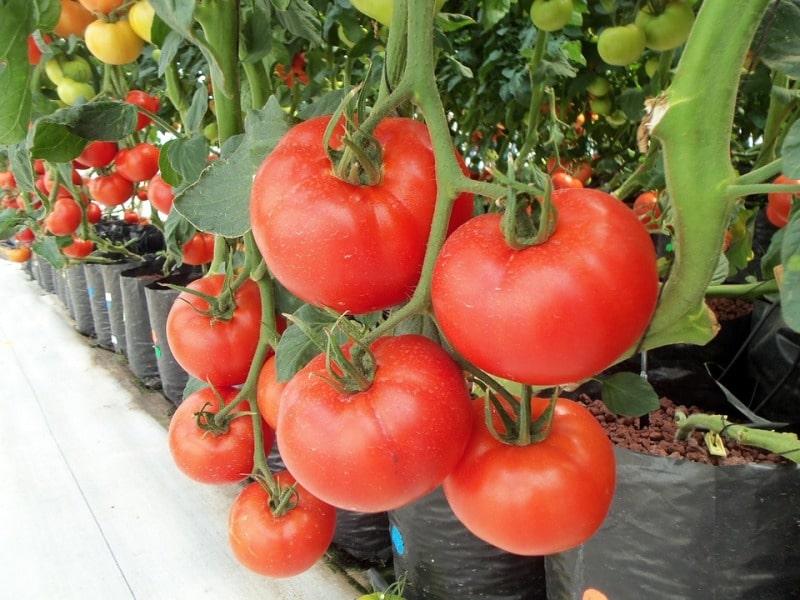 Hydroponic Tomatoes.