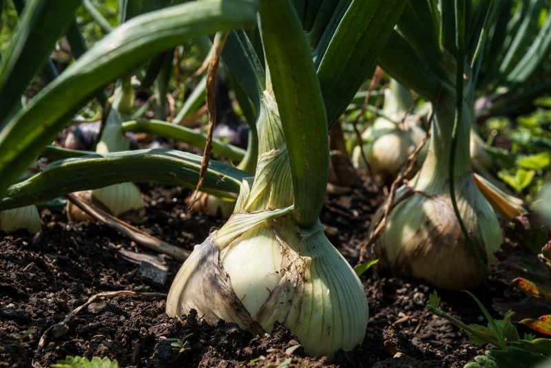 Growing Shallots from Bulbs, Seeds.