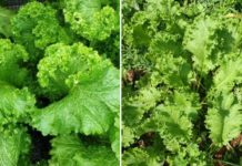 Growing Mustard Greens for Profit.