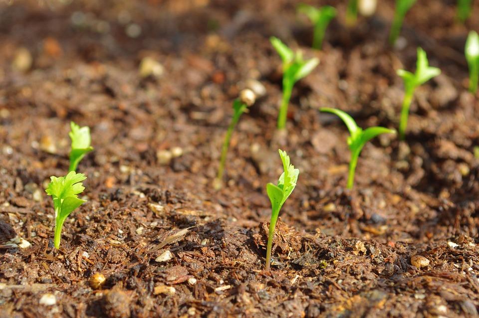 Cilantro Seedlings.