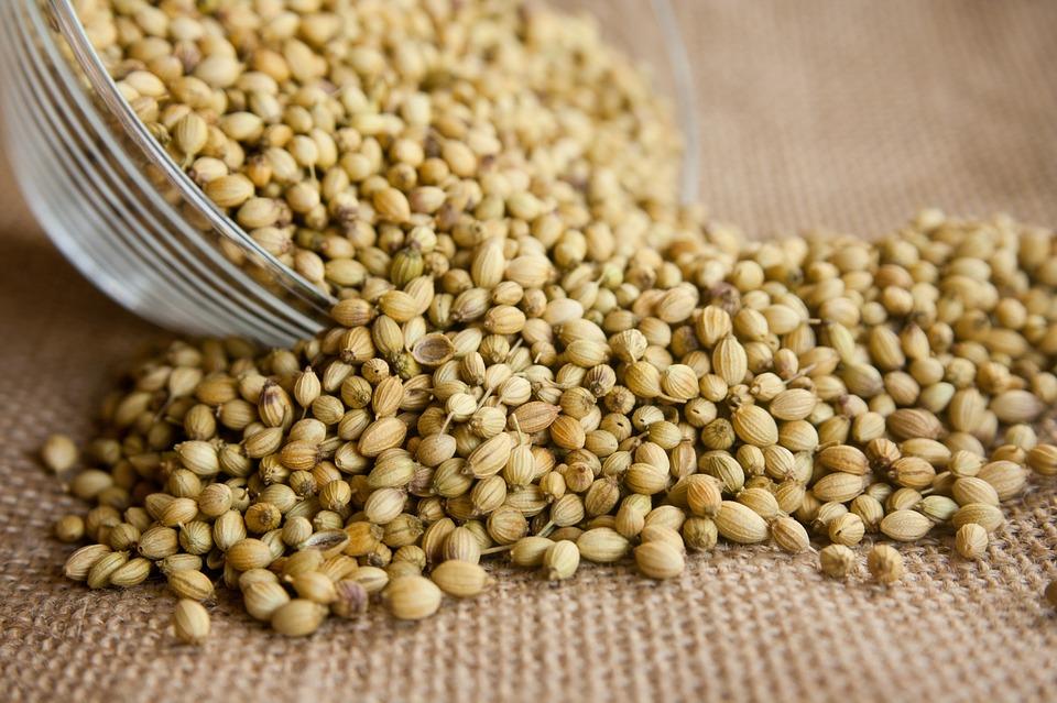 Cilantro Seeds.