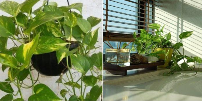 Growing Money Plant in Pots.