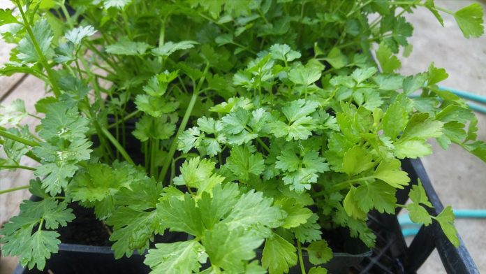 Growing Cilantro at Home.