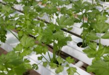 Growing Hydroponic Coriander.