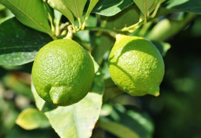 Growing lemon tree in pots.