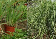 Growing Lemongrass from Seeds, Cuttings.
