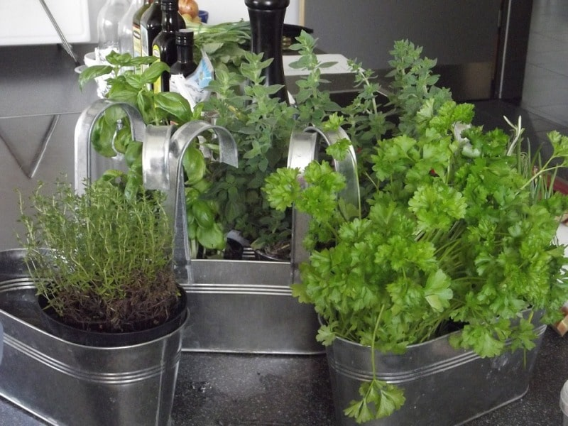 Growing Thyme in Pot along with other Herbs.