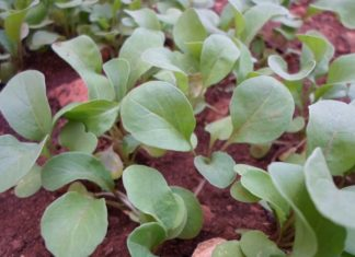 Growing Arugula from Seed.