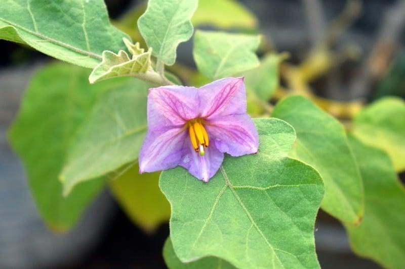 Eggplant Flowering.