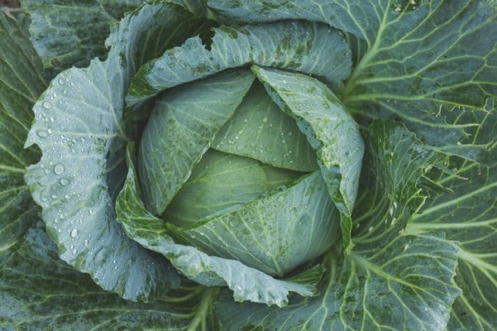 Growing Hydroponic Cabbage.