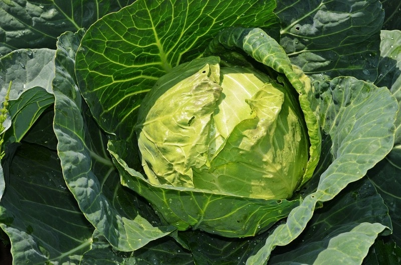 Nutrient Solution for Cabbage.