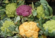 Growing Hydroponic Cauliflower.