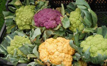 Growing Hydroponic Cauliflower.