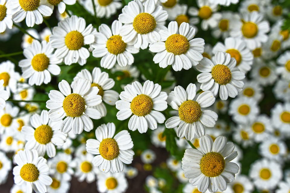 Care of Chamomile Plants.