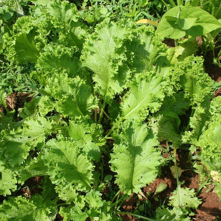 Mustard Greens.