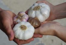 Growing Garlic at Home.