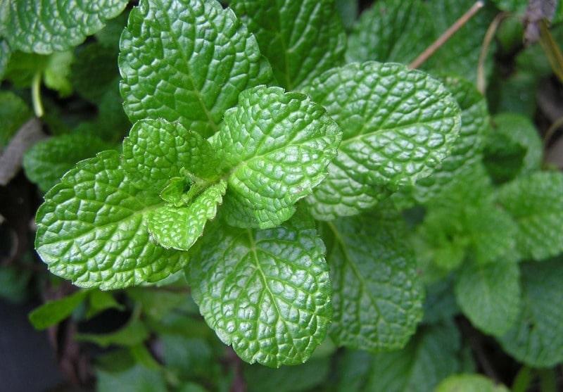 A mint plant (Pudina).