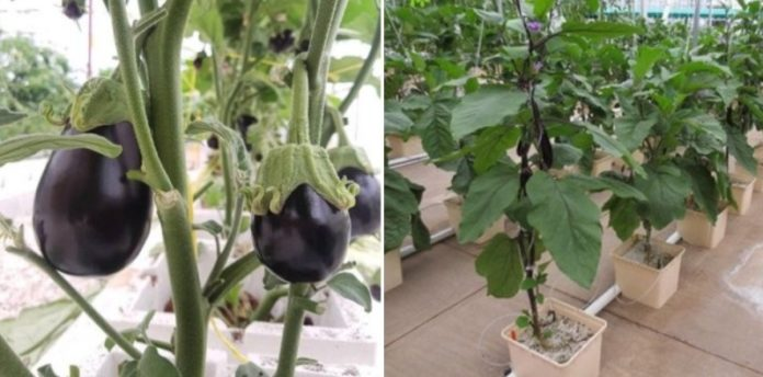 Growing Eggplants Hydroponically(Brinjal).