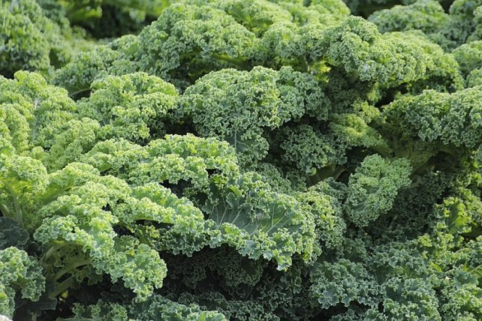 Growing Kale Hydroponically.