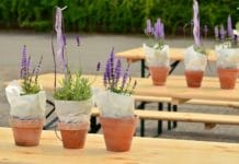 Growing Lavender in Pots.
