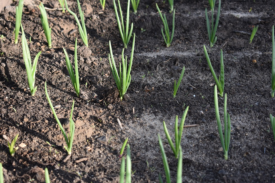 Onion Seedlings.