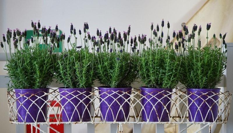 Lavender Plant Care.