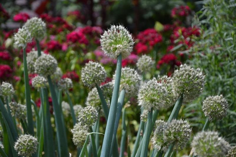 Leeks Plant Blossom.