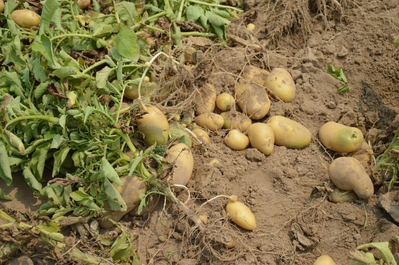 Facts about Potato Growing.