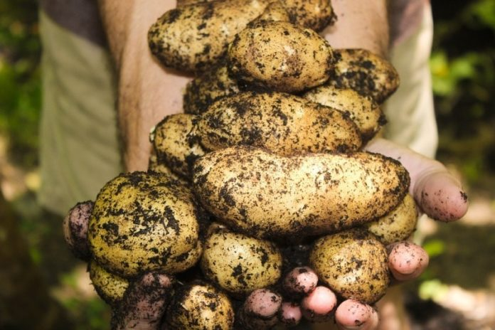 Growing Potatoes from Seed.