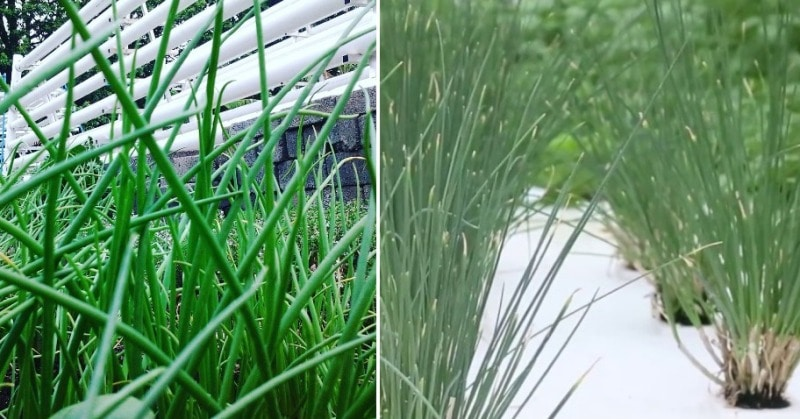 Growing Hydroponic Chives.