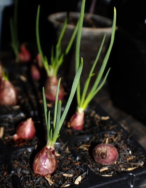 Growing Red Shallots.