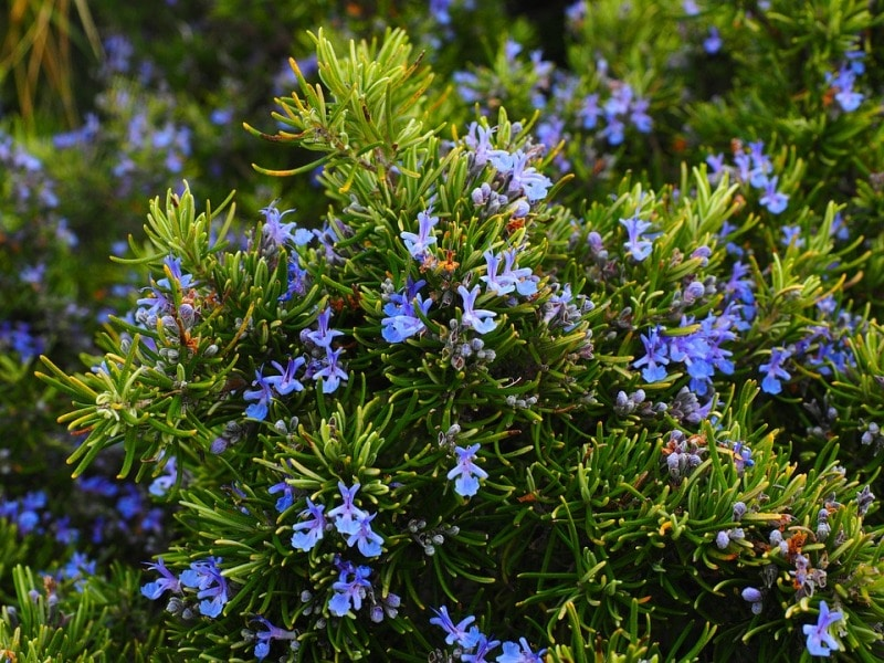 How to Grow Rosemary from Cuttings.