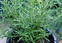Growing Rosemary From Cuttings.