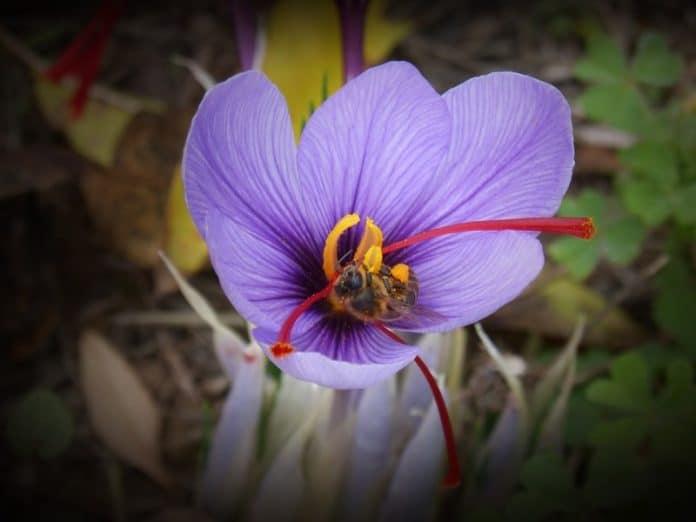 Growing Saffron Hydroponically.