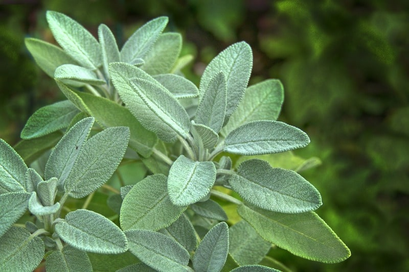 Facts of Sage Herb.
