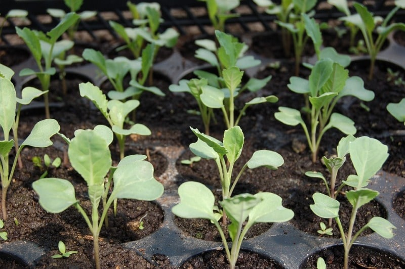 Cabbage Seedlings/