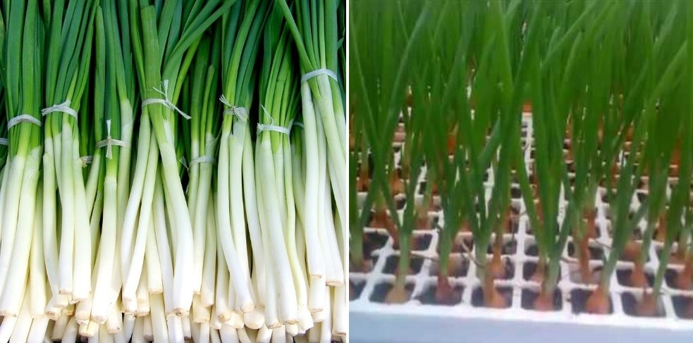 Hydroponic Spring Onions.