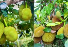 Growing Jackfruit from Seed.