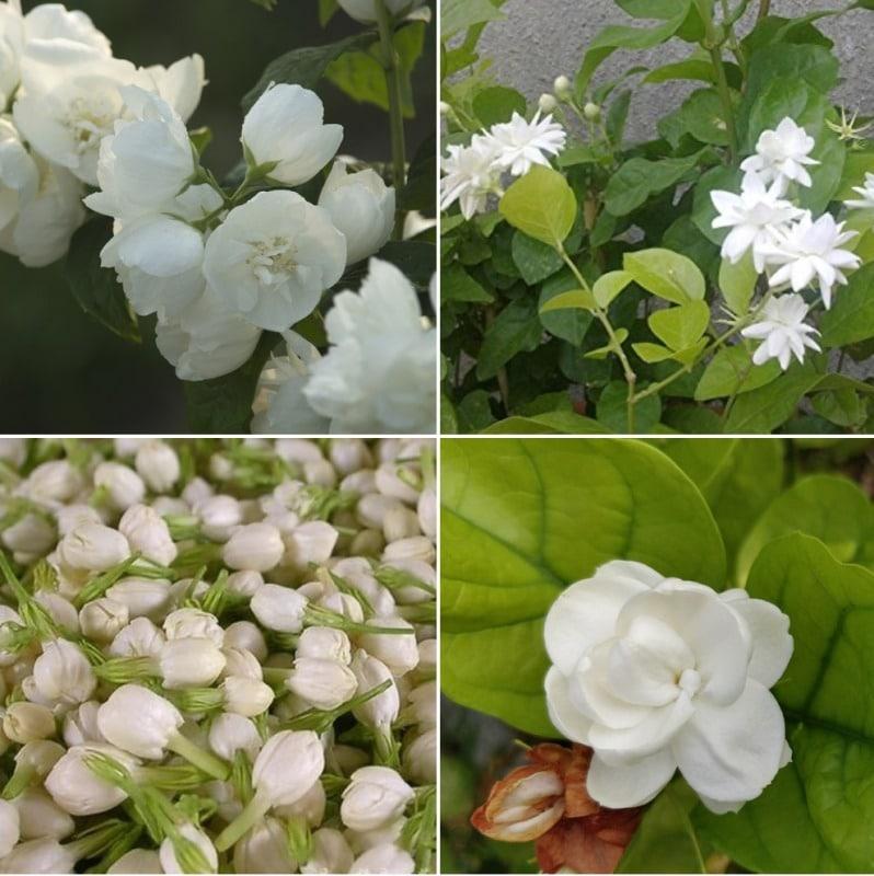 Hydroponic Jasmine Flower Farming.
