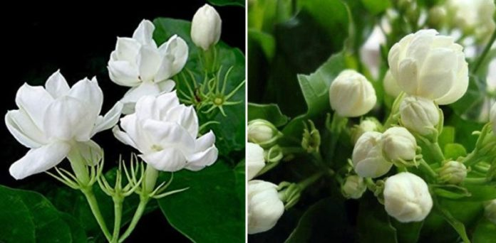 Growing Jasmine Hydroponically.