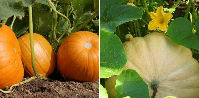 Pumpkin Growing Facts.