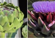 Growing Artichoke Hydroponcailly.