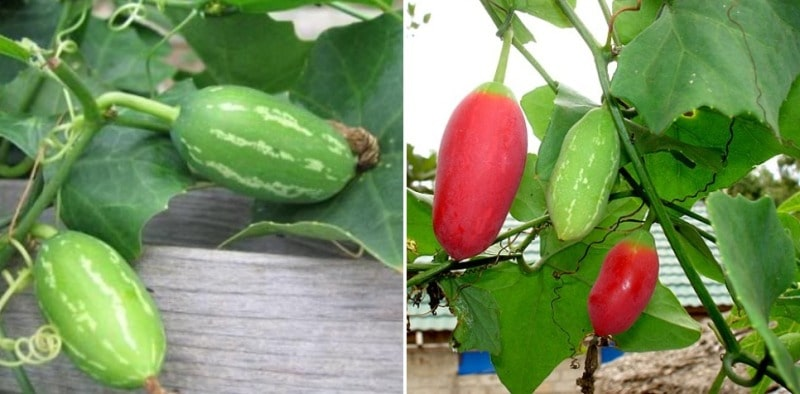Growing Tindora Ivy Gourd From Cuttings And Seeds Gardening Tips