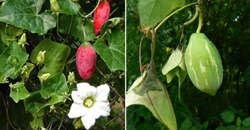 How to Grow Ivy Gourd from Cuttings.
