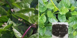 Growing Malabar Spinach from Seeds.