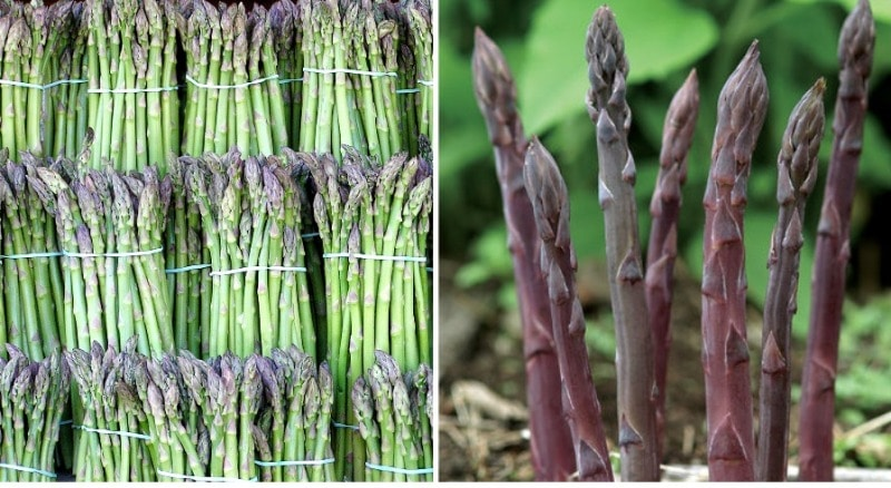 Asparagus in Hydroponcis.