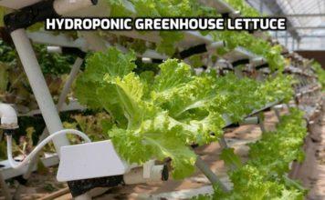 Hydroponic Greenhouse Farming.