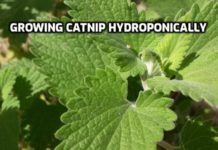 Growing Catnip Hydroponically.