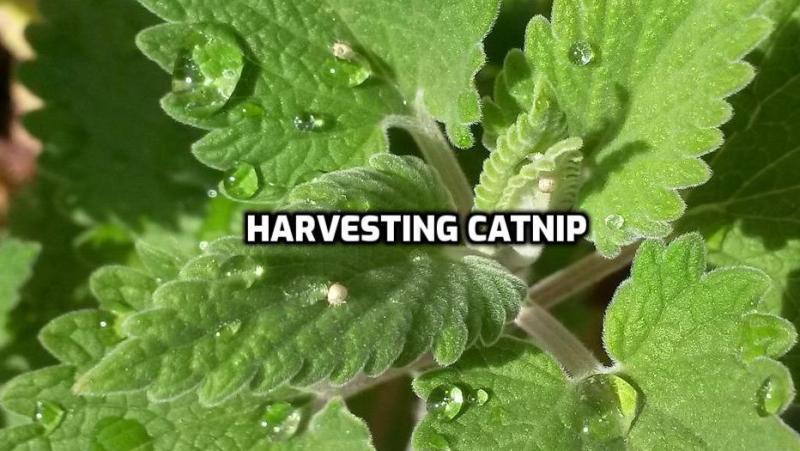 Harvesting Catnip.